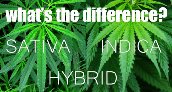 All about Indica, Sativa and Hybrid