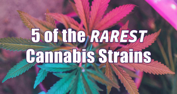 5 of the Rarest Weed Strains