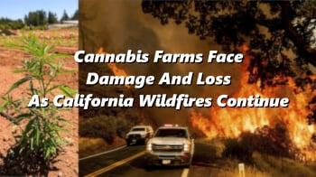 Cannabis Farms Face Damage And Loss As California Wildfires Continue