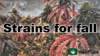 Cozy strains for Fall