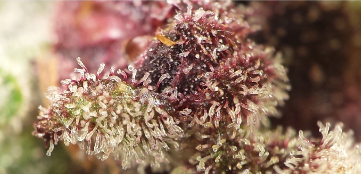 Treepot Grow with Mars Hydro SP 3000 Side Light - Day 66 Trichomes