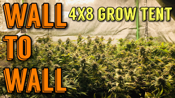 Wall To Wall Cannabis Grow In 4x8 Tent - Weeks 1-4 Of Flower