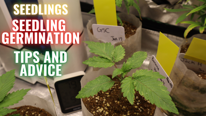HOW TO CARE FOR SEEDLINGS & SEEDLING GERMINATION: GROWING CANNABIS INDOORS MADE EASY