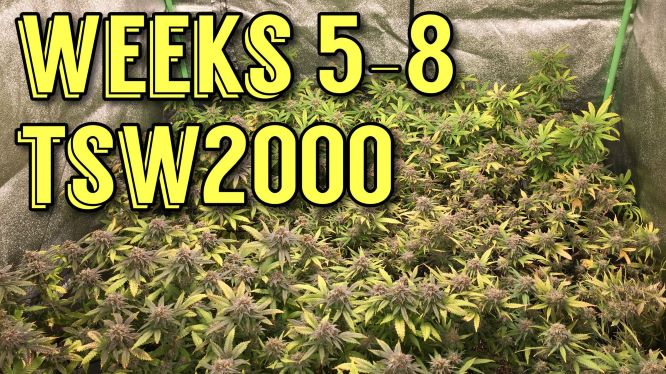 Cannabis Grow Weeks 5-8 Of Flower - Photoperiod Grow From Clone