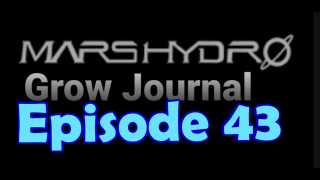MarsHydro Grow Journal  #SP-250 #FC6500 RDWC IN THE FLOWER TENT. #MARSHYDROSP6500  Episode 43