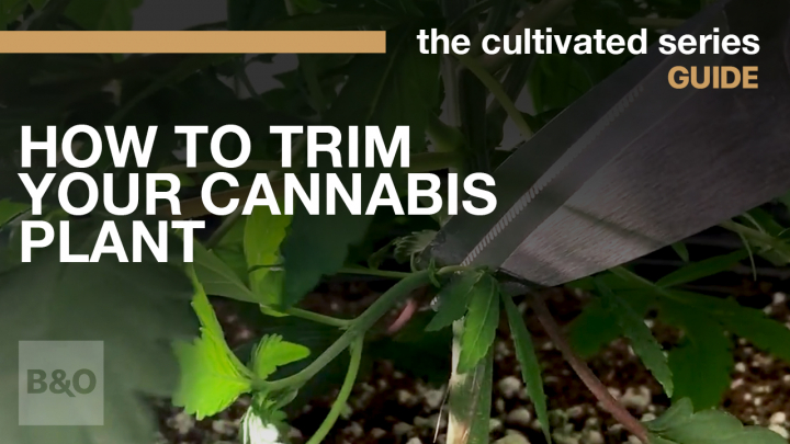 How to Trim Your Cannabis Plant