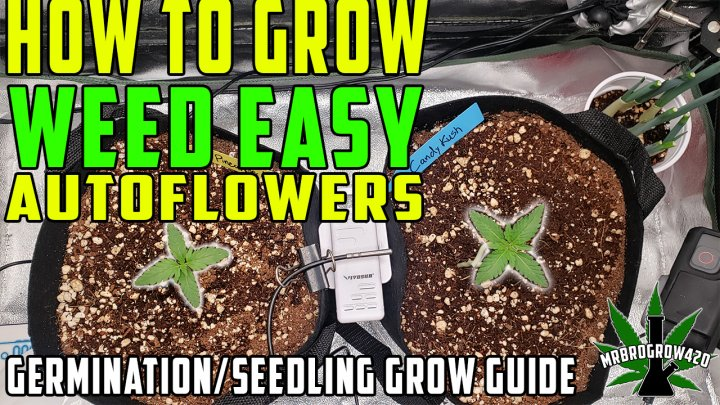 HOW TO GROW WEED EASY | GERMINATION & SEEDLING GROW GUIDE FOR AUTOFLOWERS