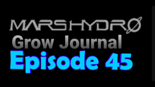 MarsHydro Grow Journal  #SP-250 #FC6500 RDWC IN THE FLOWER TENT. #MARSHYDROSP6500  Episode 45