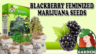 Black Berry Feminized Marijuana Seeds Cannabis Strain Mary Janes Garden