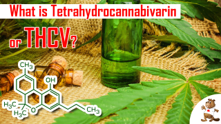 What is Tetrahydrocannabivarin or THCV Beaver Seeds