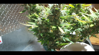 Harvest of My First AK47