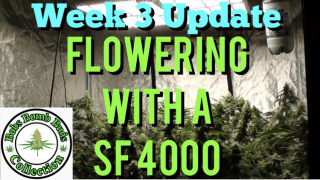 Week 3, Flowering With A Spider Farmer SF 4000 Update