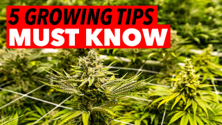 5 Marijuana Growing Tips Every Grower Needs to Know