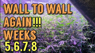 Massive Cannabis Grow From Clone Weeks 5-8