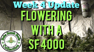 Week 4, Flowering With A Spider Farmer SF 4000 Update
