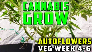CANNABIS GROW IN COCO COIR | VEG STAGE | AUTOFLOWERS | WEEKS 4-6