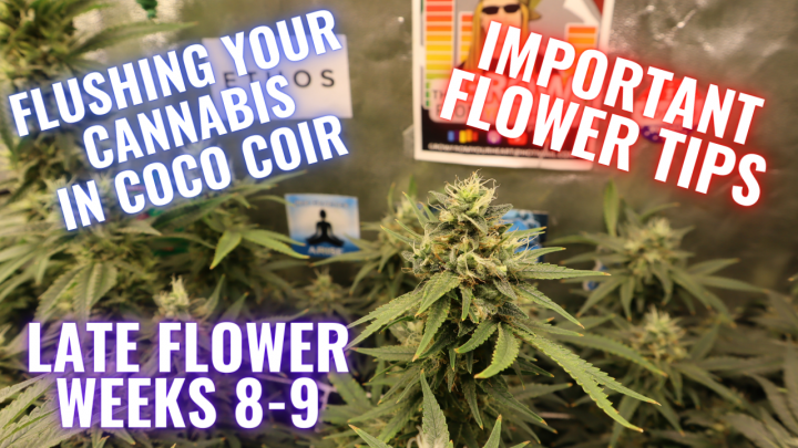 LATE FLOWER WEEKS 8-9 WHAT YOU NEED TO KNOW: GROWING CANNABIS INDOORS MADE EASY