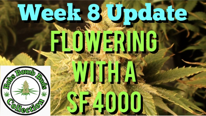 Week 8, Flowering With A Spider Farmer SF 4000 Update