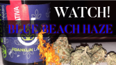 BLUE BEACH HAZE (FRANKLIN LABS).... PA marijuana review