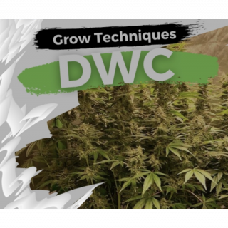 How To Grow in RDWC Canabis  Blue Dream week 8 OG Grower
