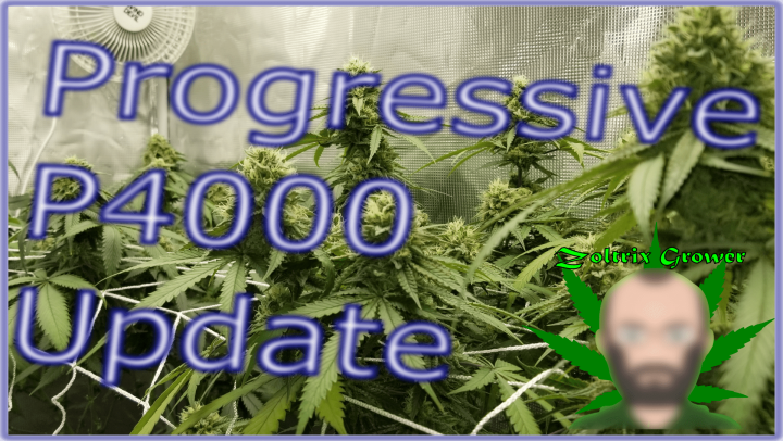Growing Afghan Cannabis under the Viparspectra P4000 A4