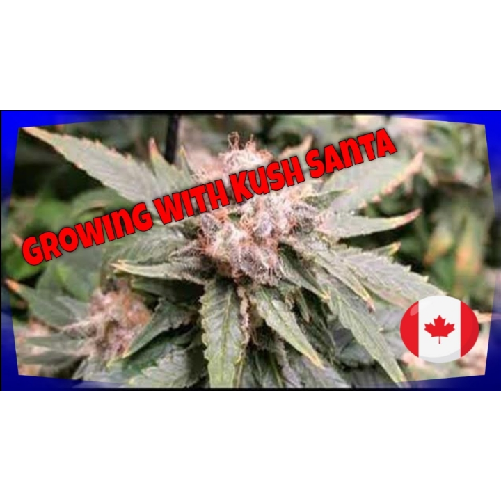 Indoor Growing update FC 6500 & SP 6500 MARS HYDRO RDWC GROW System Growing Cannabis plants