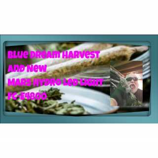 Indoor grow harvest marijuana new mars hydro led FC-E 4800 weed seeds to grow