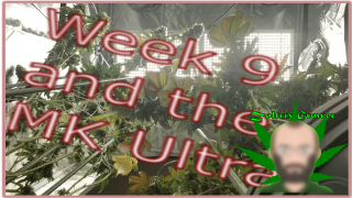 Growing Weed Under the XS4000 from Viparspectra | MK Ultra to Flower | ILGM | Perpetual Cannabis