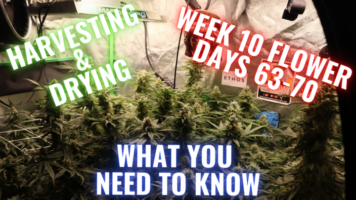 WEEK 10 FLOWER FOR PHOTO PERIODS IN COCO COIR: GROWING CANNABIS INDOORS MADE EASY