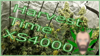 First Weed Harvest Grown Under XS4000 from Viparspectra! | Afghan and Sunset Sherbet | Perpetual Cannabis Harvest