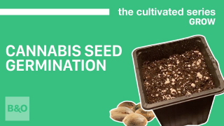 How to Germinate Your Cannabis Seeds