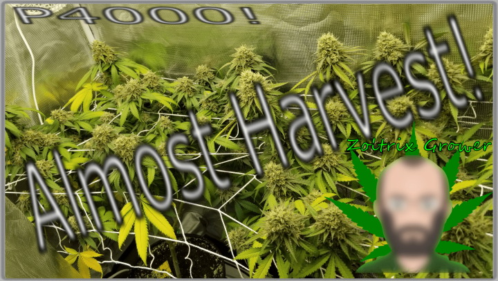 Almost Harvest Time!   Growing Weed with the Viparspectra P4000!   Perpetual Cannabis