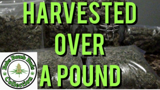Harvest Over A Pound In A 5x5 Tent & With A Spider Farmer SF 4000