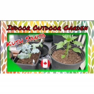 Growing With Kush Santa Indoor and Outdoor  Gardening. Growing your own organic is the best