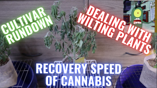 STRAIN RUNDOWN + DEALING WITH WILTING PLANTS:  GROWING CANNABIS INDOORS MADE EASY