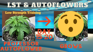 How to Lst (low strength training) with Autoflowers, Double Grape Cannabis Auto Growing Fast, 5 Days of Training, Great Results