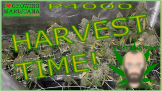 Harvesting Afghans Under the P4000! | Perpetual Cannabis Growing with Viparspectra | Organic Gardening