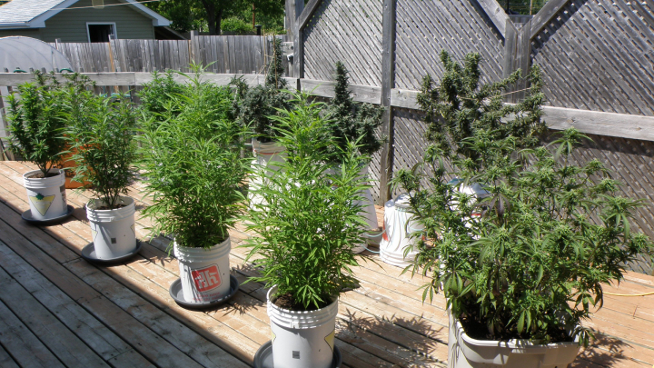 Growing Cannabis Outdoors in Northern Ontario