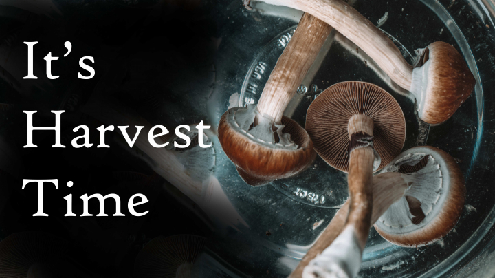 *Deleted Video* How to Harvest Mushrooms (B+)   An Introduction to Growing Mushrooms