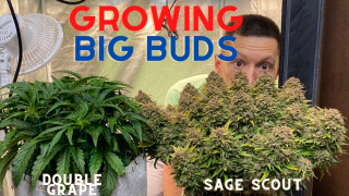 Growing Big Buds, Train Weed Like a Pro, Sage Scout and Double Grape