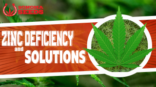 Cannabis Plants Zinc Deficiency By Sonoma Seeds