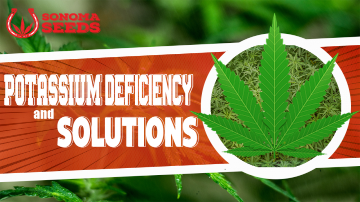 Cannabis Plants Potassium Deficiency By Sonoma Seeds