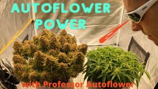 Autoflower Power with Professor Autoflower, Growing Weed, Sage Scout and Double Grape