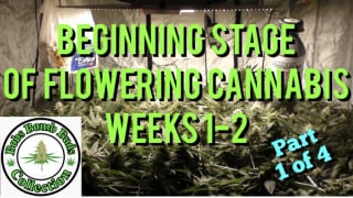 Cannabis, What To Do During The Beginning Stage of Flower Weeks 1-2  (part 1 of 4)