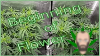Starting to Flower Under The Viparspectra P4000! | Growing Perpetual Cannabis!