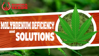 Cannabis Plants Molybdenum Deficiency By Sonoma Seeds