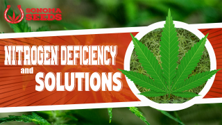 Cannabis Plants Nitrogen Deficiency By Sonoma Seeds