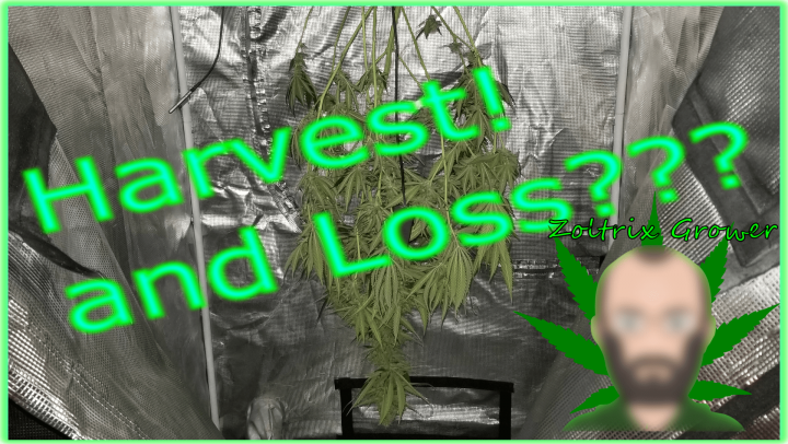 Harvest, Loss, and Week 7... | Growing weed with the Viparspectra XS4000