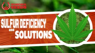 Cannabis Plants Sulfur Deficiency By Sonoma Seeds