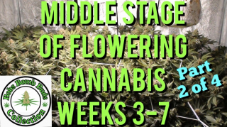 Cannabis, What To Do During The Middle Stage of Flower Weeks 3-7 (part 2 of 4)